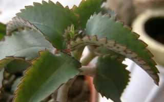 Растение доктор применение