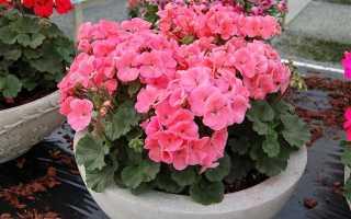 Почему не цветут герани в домашних условиях