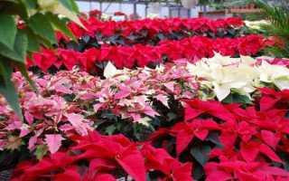 Цветок с красными и зелеными листьями