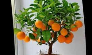 Мандариновое дерево в домашних условиях уход