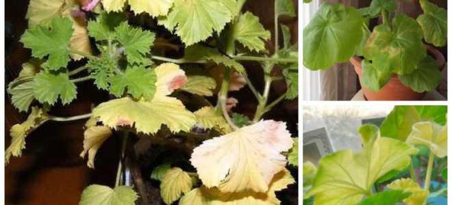 Желтеют листья у пеларгонии что делать