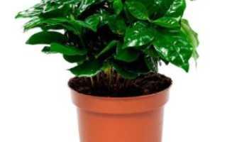 Кофе арабика растение