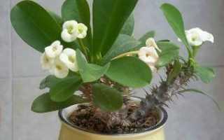 Комнатное растение молочай виды