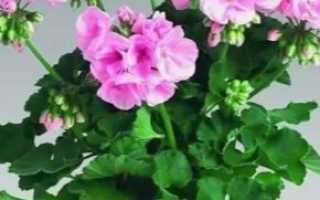 Можно ли пересадить цветущую герань