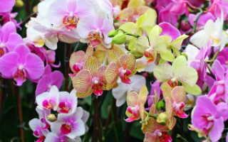 Нужно ли поливать орхидею после пересадки