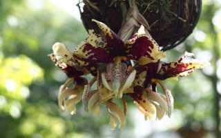 Самая редкая орхидея в мире
