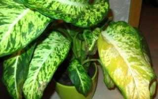 Желтеют листья у диффенбахии что делать