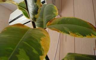 Сохнут листья у фикуса