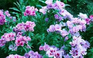 Цветы кларкия изящная и махровая: фото, выращивание из семян и уход