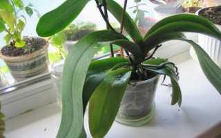 Орхидея не цветет что делать