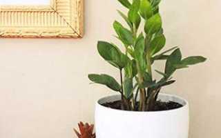 Как правильно посадить замиокулькас