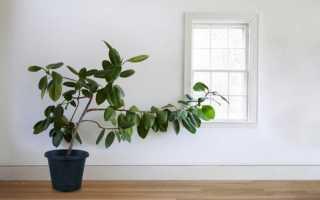 Чем подкармливать фикус в домашних условиях