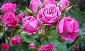 Что такое роза флорибунда