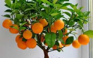 Вырастить мандарин из косточки в домашних условиях