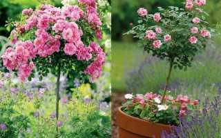 Штемпельная роза