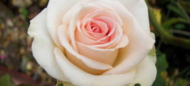 Язык цветов розы