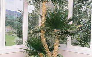 Пальма хамеропс: фото листьев, уход в домашних условиях, размножение семенами и отпрысками