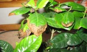 Чернеют кончики листьев у азалии