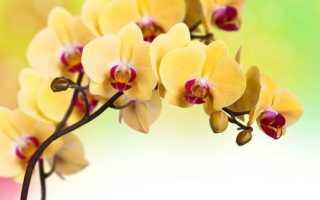Желтая орхидея фаленопсис