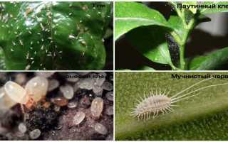 Белые жучки в земле комнатных растений