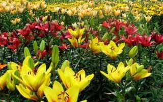 Садовые цветы лилии